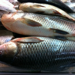 Frozen Rohu Fish Approx 2kg Whole