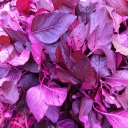 Local Purple Spinach 500g
