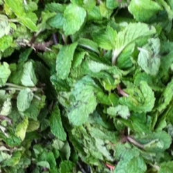 Mint Leaves Pudhina 100g